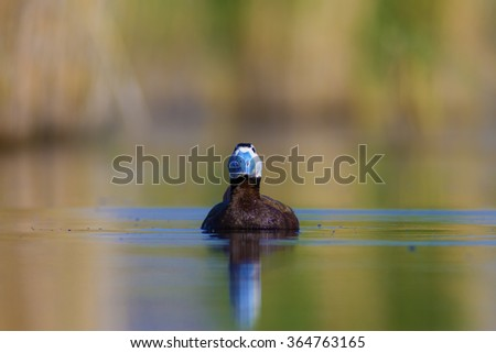 blue beak White headed Duck / Oxyura leucocephala - stock photo