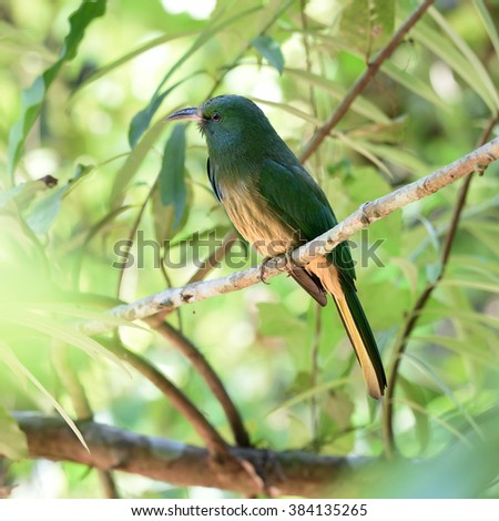 Blue-bearded Bee-eater (Nyctyornis athertoni)