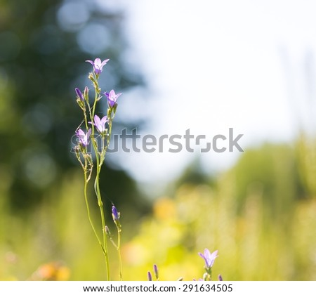 Blue bell flower blooming near forest. Close up of late springtime flower - stock photo