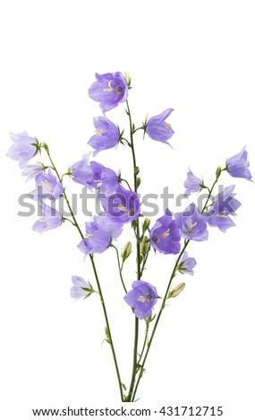 blue bell flower on a white background - stock photo