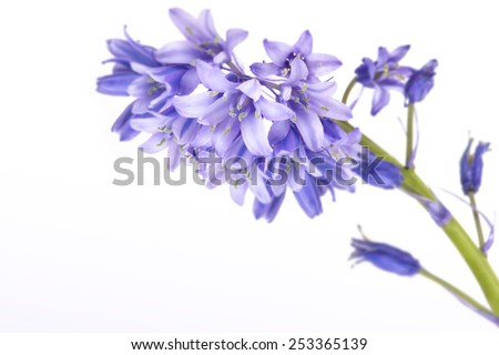 Blue bells isolated on white - stock photo