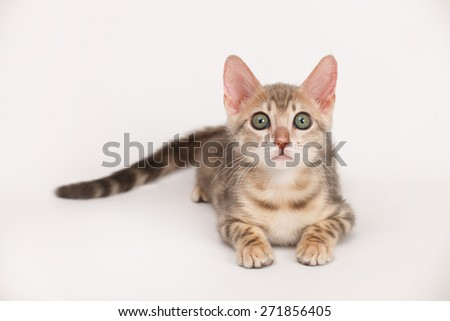 Blue Bengal Kitten - stock photo