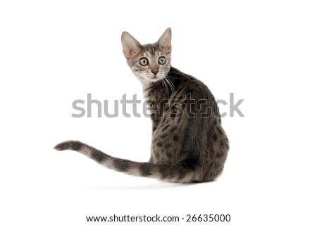 Blue Bengal kitten looking over shoulder on white background