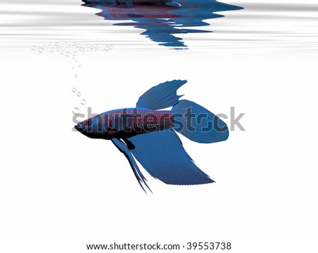 BLUE BETTA - A beautiful blue Siamese Fighting Fish builds a bubble nest to bring up its young. - stock photo