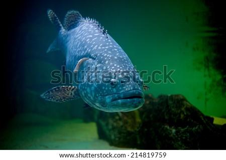 blue big fish in acquarium - stock photo