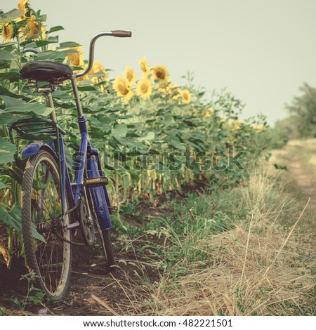Blue bike in the sunflower field in early morning