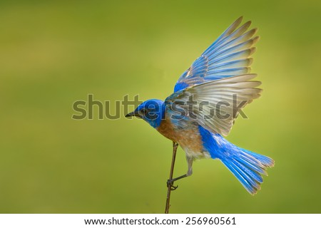 Blue Bird - stock photo
