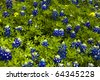 Blue bonnets can be seen on many back roads in Texas. - stock photo