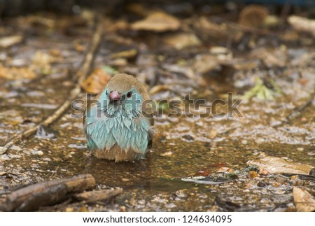 Blue-breasted Cordonbleu Bird - stock photo