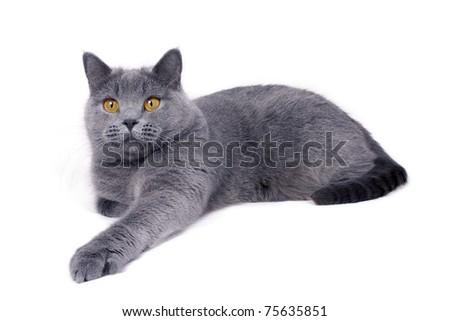 Blue british cat lying on white background - stock photo