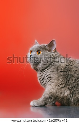 blue british shorthair cat, on red background