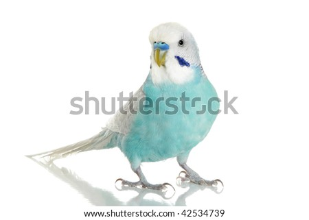 Blue Budgerigar on white background with reflection - stock photo