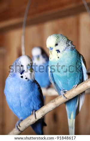 Blue budgie is sitting on a branch in an aviary - stock photo