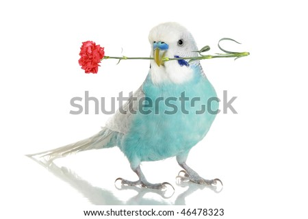 Blue budgie with a red carnation in a beak. isolated on white background with reflection - stock photo
