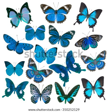 Blue butterflies flying, isolated on white background - stock photo
