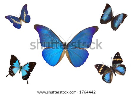 Blue butterflies isolated on a white background - stock photo