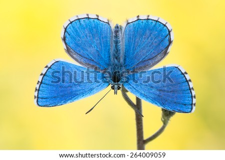 Blue Butterfly - Adonis Blue (Polyommatus bellargus) - stock photo