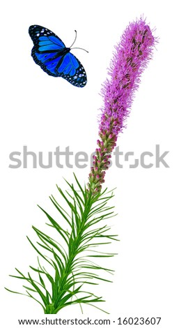 Blue butterfly and gayfeather flowers isolated on white