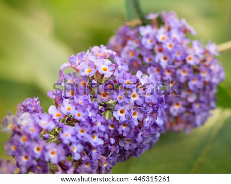 Blue butterfly bush blooming in the garden - stock photo