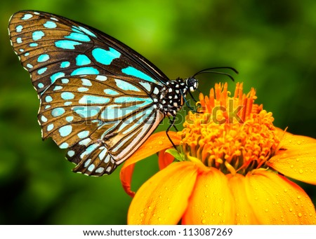 Blue butterfly fly in morning nature. - stock photo