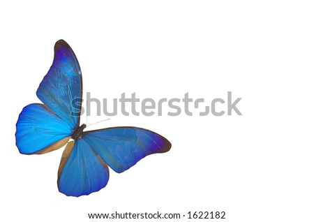 blue butterfly isolated on white background - stock photo