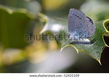 Blue butterfly on a leaf of holly