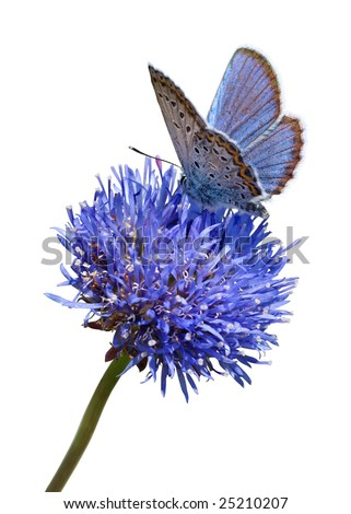 Blue butterfly on flower isolated on white background - stock photo