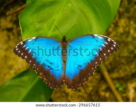 Blue butterfly on green leaf, very vivid colours - stock photo