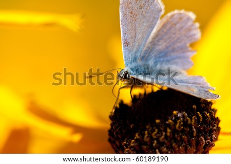 Blue Butterfly on Yellow flower with selective focus
