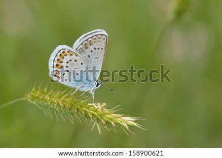 Blue butterfly outdoor (polyommatus icarus)  - stock photo