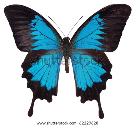 Blue Butterfly. Swallowtail species - stock photo