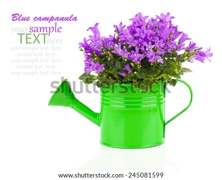 blue campanula flower in a green water-pot isolated on white. - stock photo