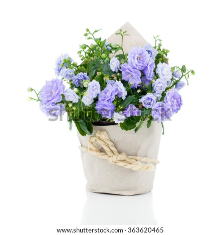 blue Campanula terry flowers in paper packaging, on a white background. - stock photo