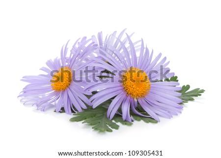 Blue chamomile flowers. Isolated on white background - stock photo