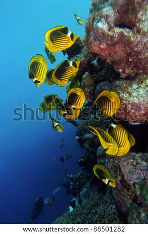 Blue cheed butterfly fish swarm