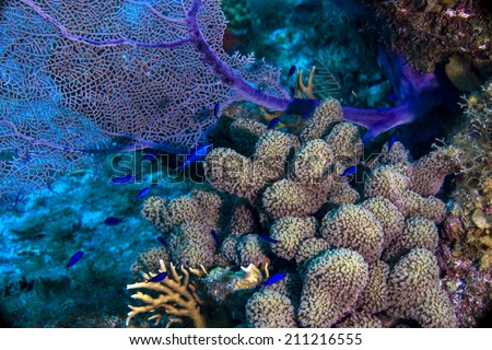 Blue Chromis and sea fan with thumb coral - stock photo