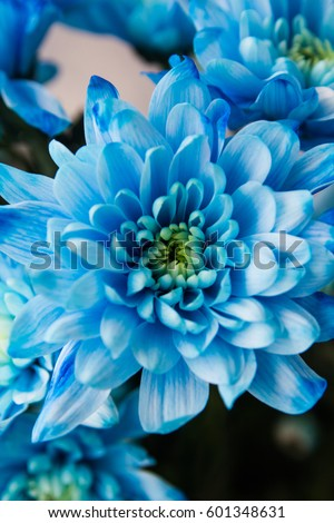 Blue chrysanthemum close-up