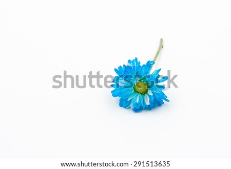 blue Chrysanthemum flower isolated on white background