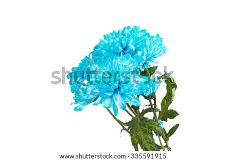 Blue Chrysanthemum Flower Isolated over White Background. Beautiful Dahlia Flowerhead Macro - stock photo