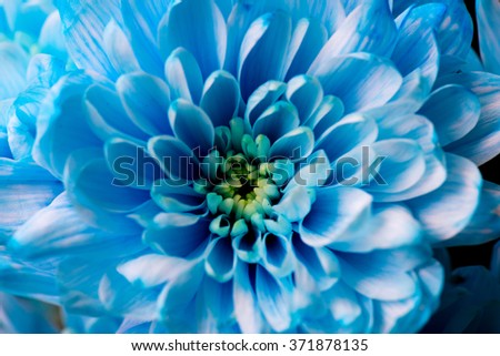blue chrysanthemum flowers close up