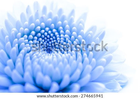 Blue chrysanthemum isolated on a white background, fancy color - stock photo