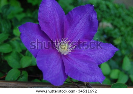 Blue Clematis - stock photo