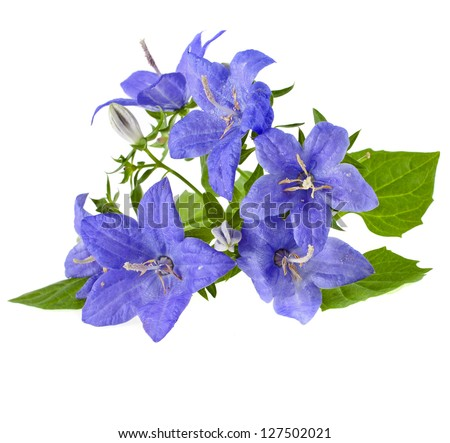 blue color campanula flowers with copyspace isolated on white background - stock photo