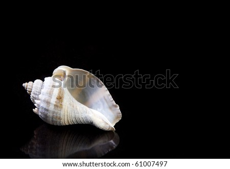Blue Conch Sea shell on black background with copy space. - stock photo