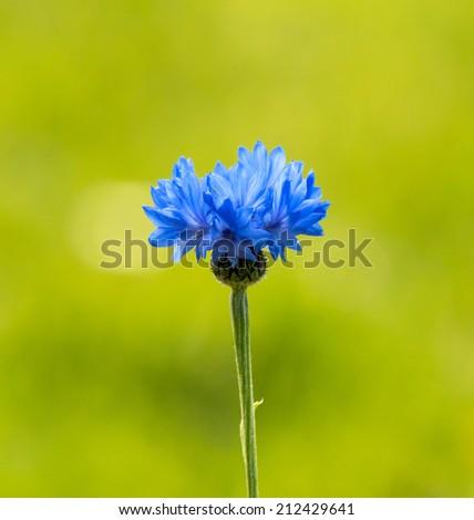 Blue Cornflower against green grass background - stock photo