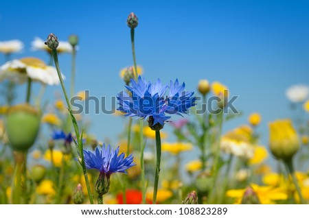 Blue Cornflower amidst white and yellow Daisies - stock photo