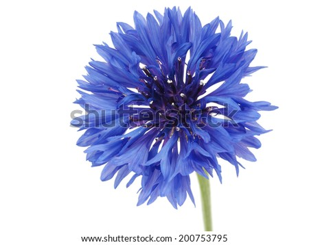 Blue Cornflower - Centaurea on a white background       - stock photo