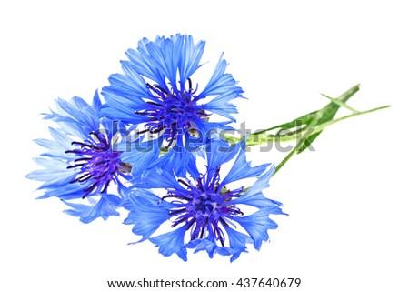 Blue Cornflower - Centaurea on a white background - stock photo