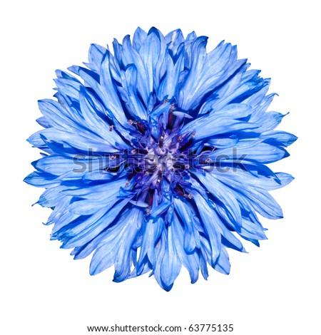 Blue Cornflower  Flower head - Blue Centaurea cyanus Isolated on White Background - stock photo
