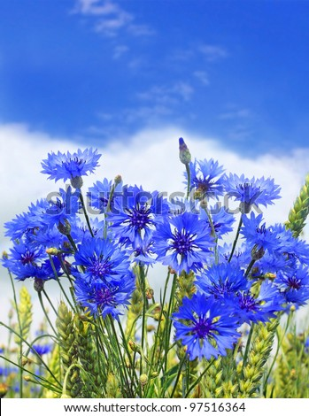 blue cornflower in the meadow and blue sky - stock photo